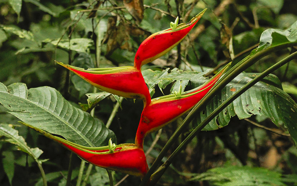 Heliconia flowers add a dash of colour to the constant lush green of the rainforest