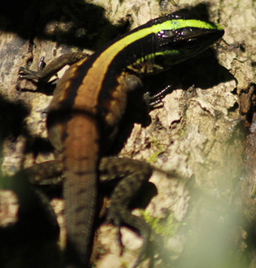 The stripe on this skink's back is almost incandescent