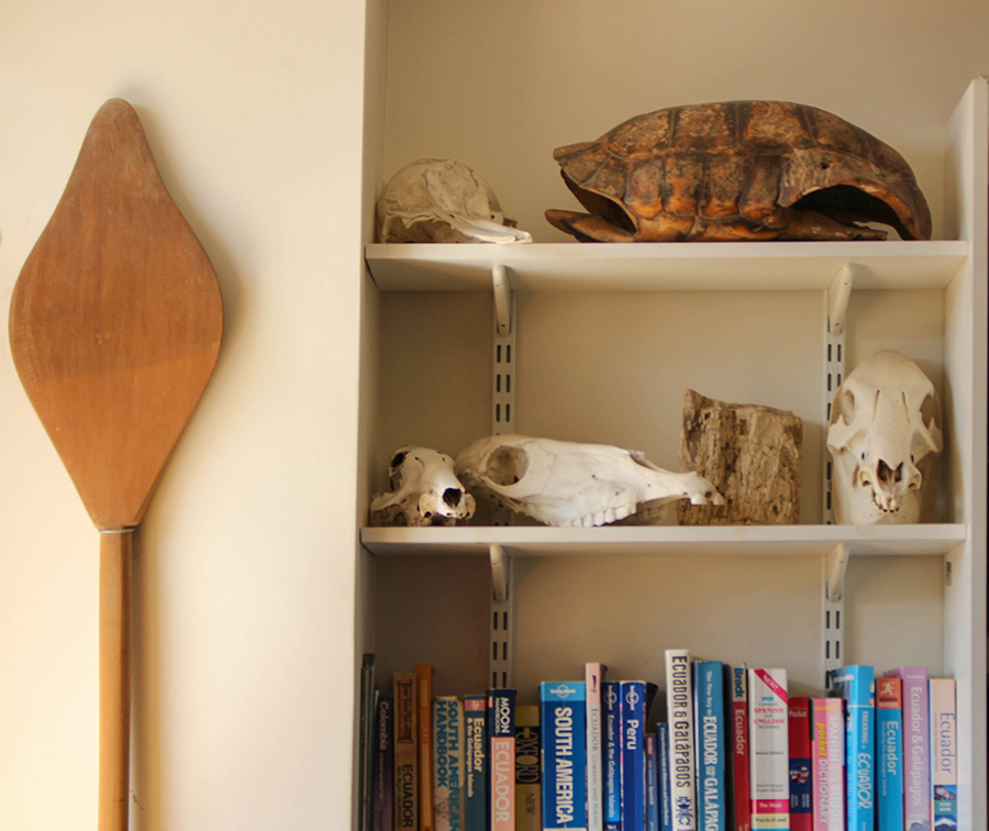 A skeleton of a caiman, partly obscured by a skeleton of a tapir, hangs from the ceiling of Swing's office.     Bottom: Artefacts, like the paddle and tortoise shell, make the office seem like a museum.    (Jazmin Tremblay)