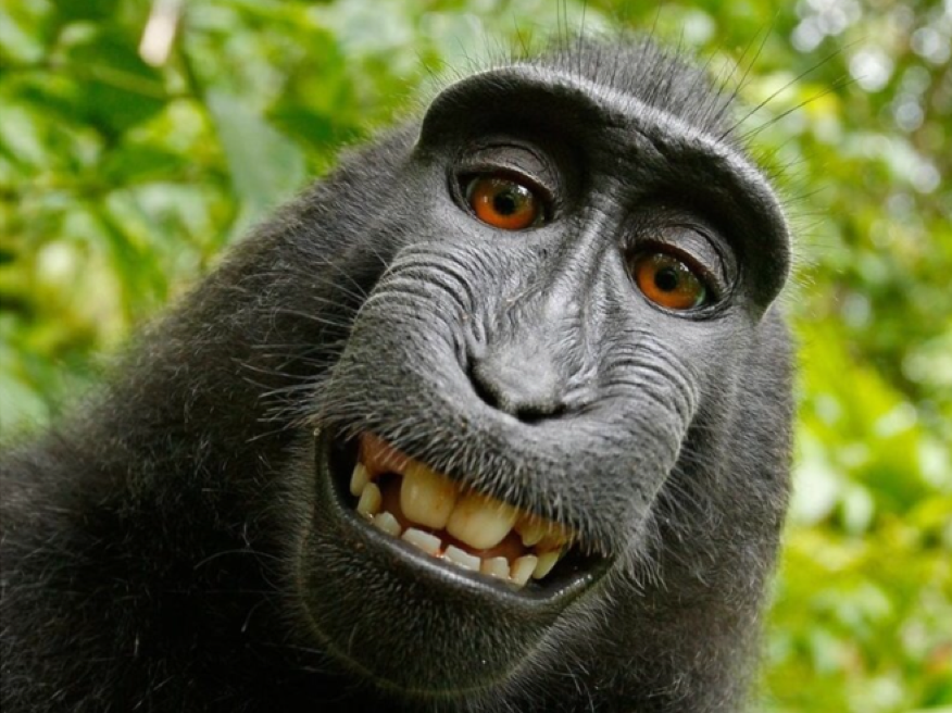 Naruto, a macaque monkey, took this self-portrait in 2001 with a camera owned by photographer David Slater. Source:  David Slater via Wikimedia Commons