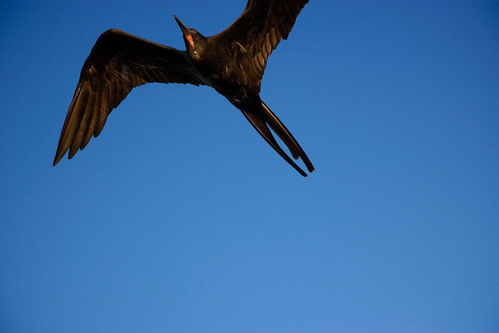 Frigate Bird - Galapagos