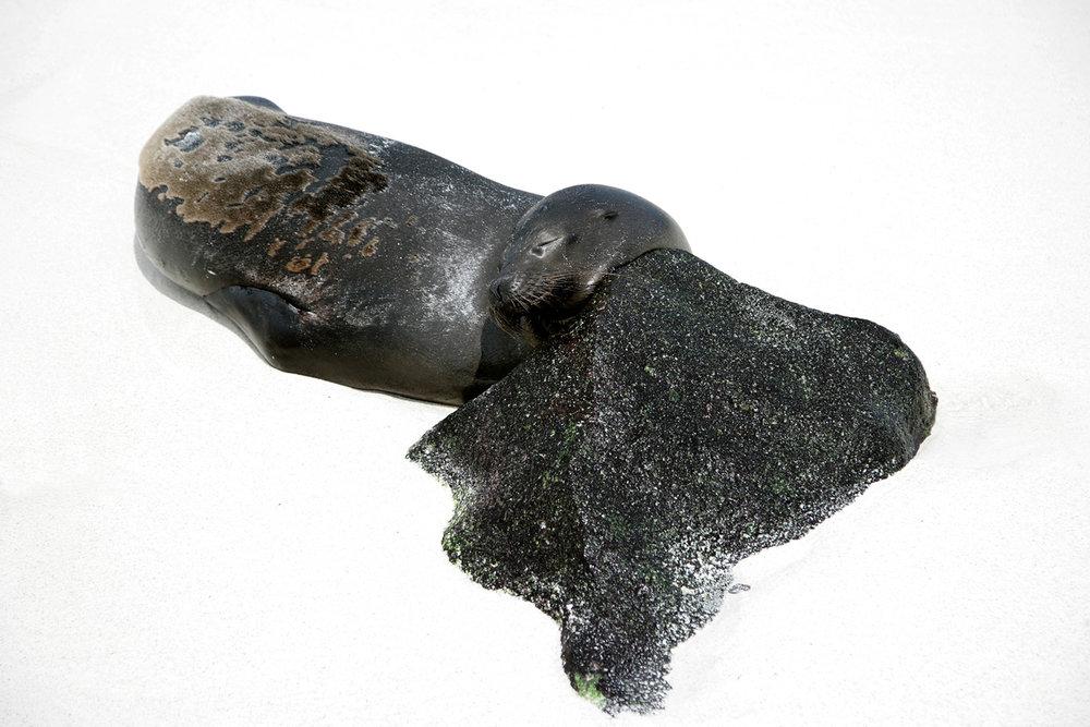 Seal - Galapagos
