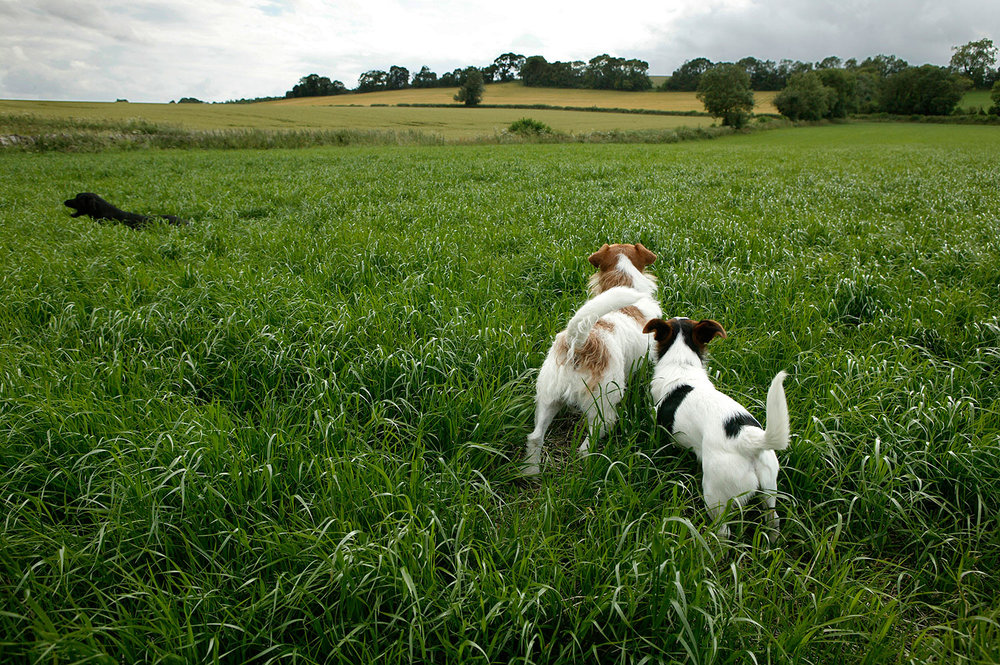Dogs - Cotswolds