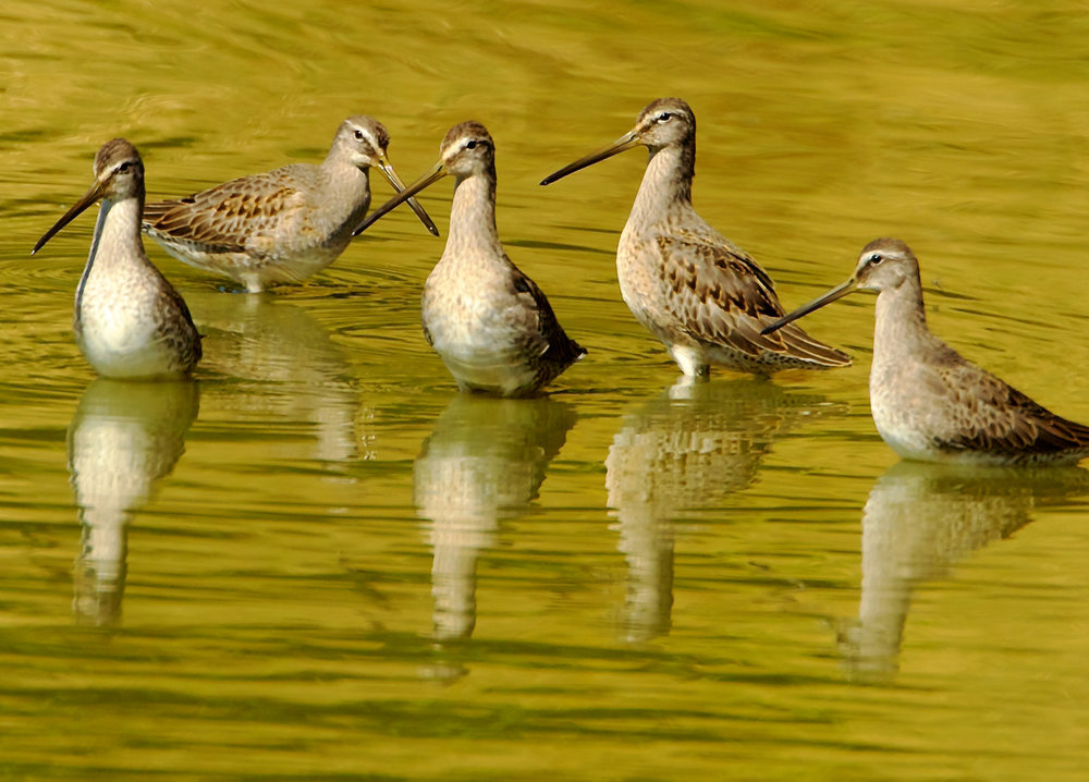 Dowitchers at Fernhill