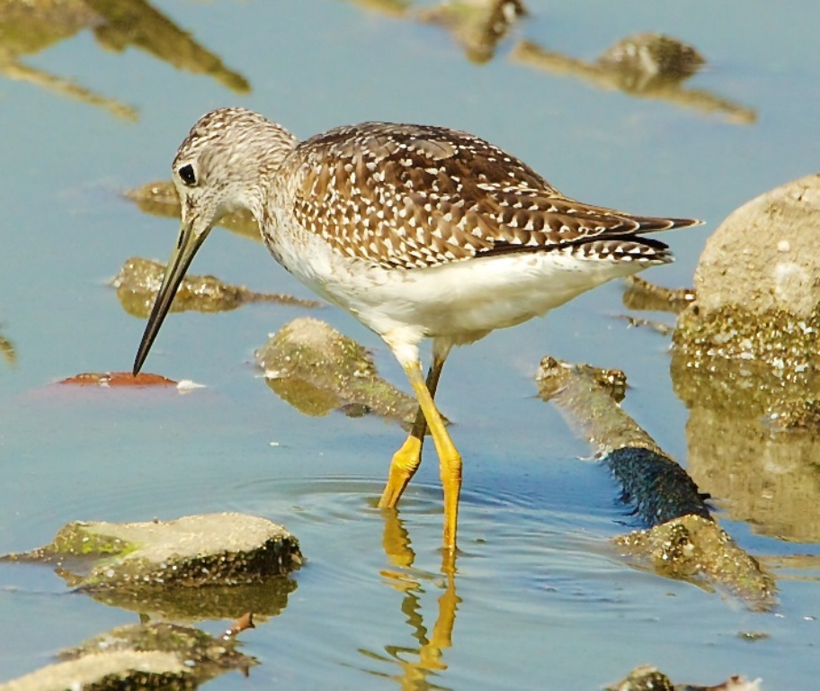 Greater Yellowlegs at Fernhill