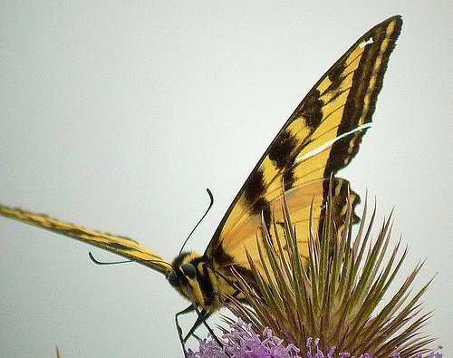 Butterflies can determine what kind of plant they have landed on by tasting the plant with their feet.