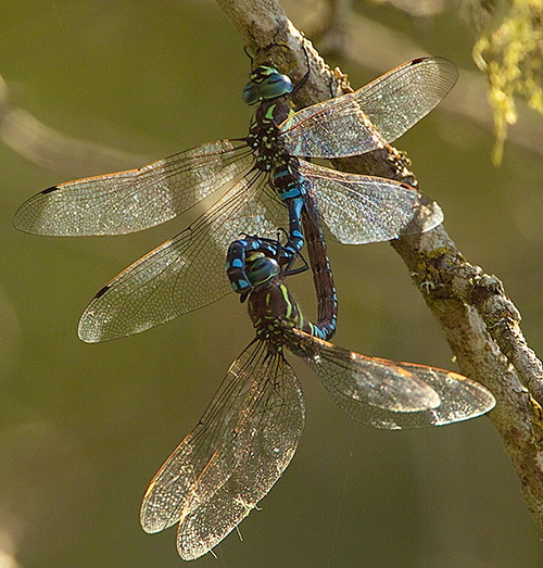 Dragonflies are such effective hunters, they usually catch 90% of the prey they attack.