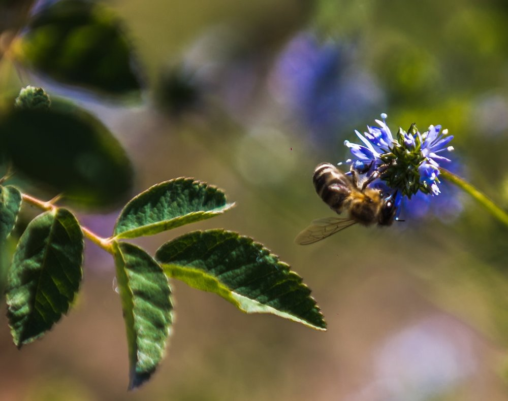 Mason bees are valuable pollinators of fruit and nut trees, berries, and a few early spring flowers. A single mason bee will visit between 1,600 to 2,400 blossoms daily, and pollinate 90% of them.