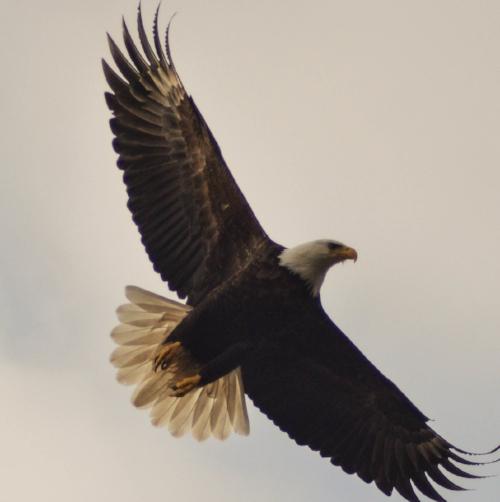 14793_19246_Eagle.jpg