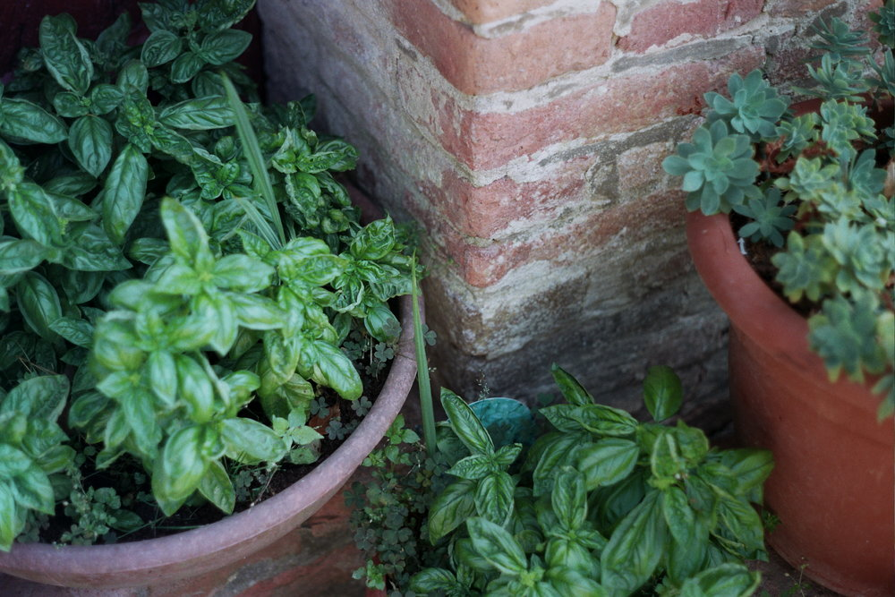 Genovese Basil in Toiano, Province of Pisa, Tuscany