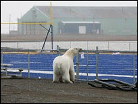 Polar bear on the field in Barrow, Alaska. Photo courtesy of John Gleason.