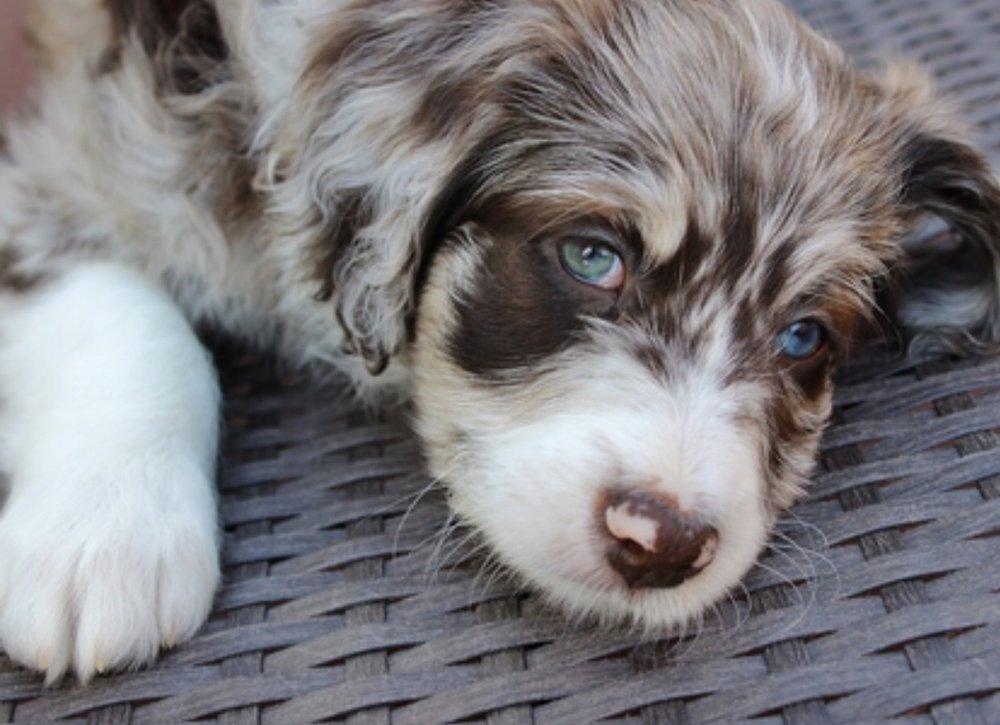 puppy-david