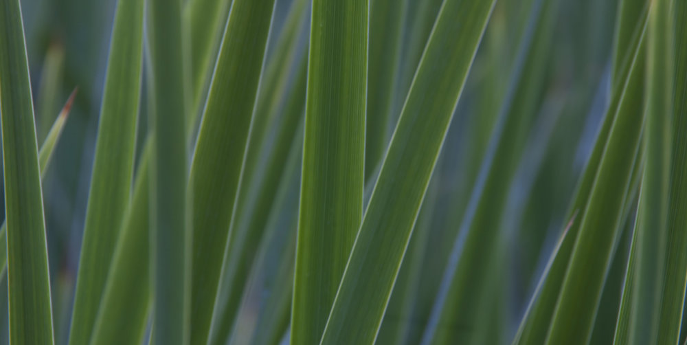UpClose_SwamGrass_01