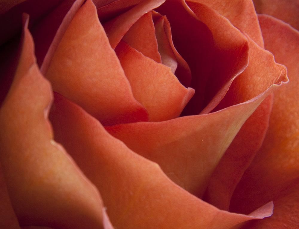 UpClose_Rose_01