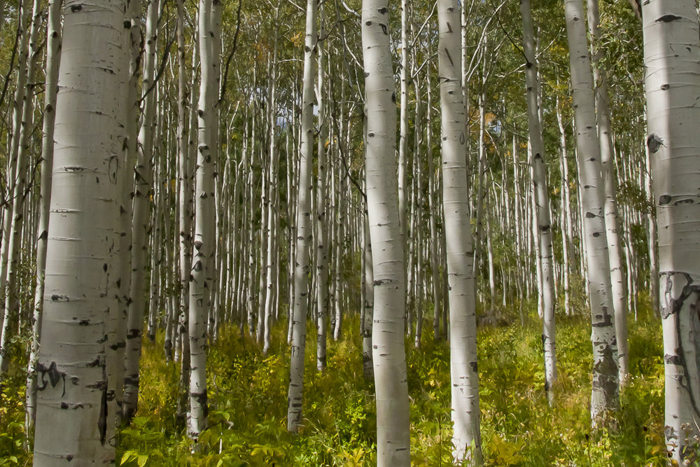 Treescapes_11_UtahAspen2925