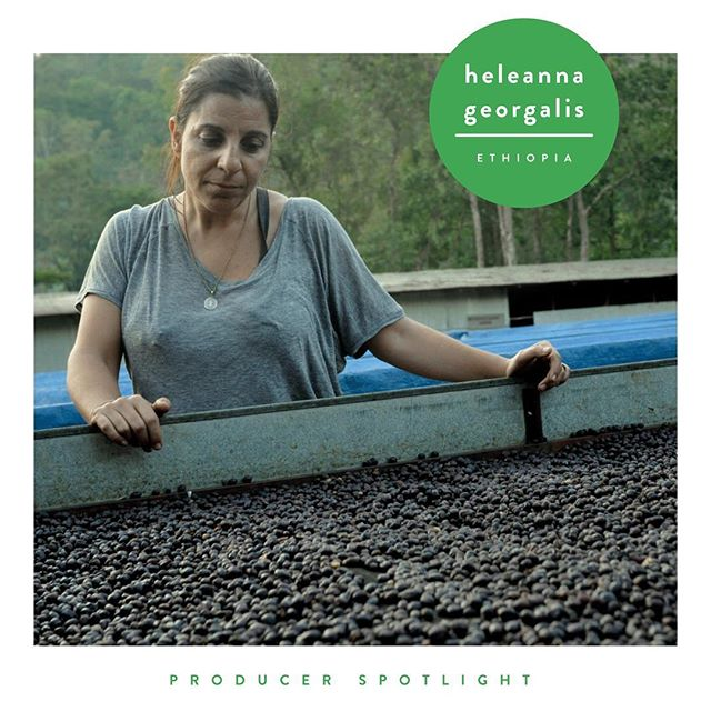 Heleanna Georgalis is at the forefront of exporting Ethiopia's finest coffees. Since inheriting Moplaco in 2008 after the sudden passing of her father, she's upheld her father's legacy, while also carving out her own contributions. Under her leadership, Moplaco is constantly evolving to produce ever-increasing quality coffee. At Supercrown, her penchant for quality is represented in one of our favorite offerings, the Ethiopian Kochere Gr 1 Heleanna; known for it's complex acidity, brightness and sweetness. 💚✨🇪🇹 . . . . . #supercrowncoffeeroasters #supercrowncoffee #supercrown #coffeeroaster #drinkbettercoffee #specialtycoffee #ethiopiancoffee