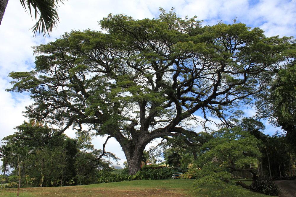 Romney Manor – Saman tree