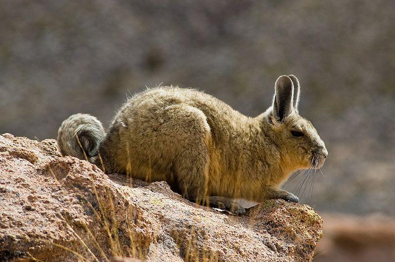 Salar de Uyuni – Viscacha