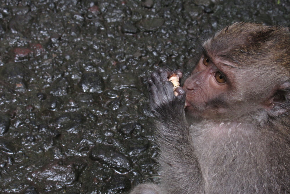 Sacred Monkey Forest – Caught in the act!