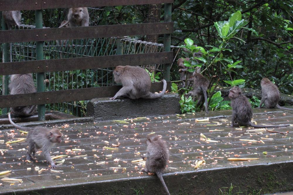 Sacred Monkey Forest – Feeding time!