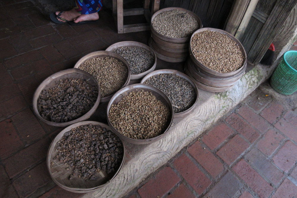 Luwak coffee beans, hand-picked from the droppings of the Asian palm civet