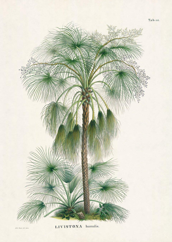 CORYPHOIDEAE (Schopfpalmenähnliche) Livistona humilis R. Br.