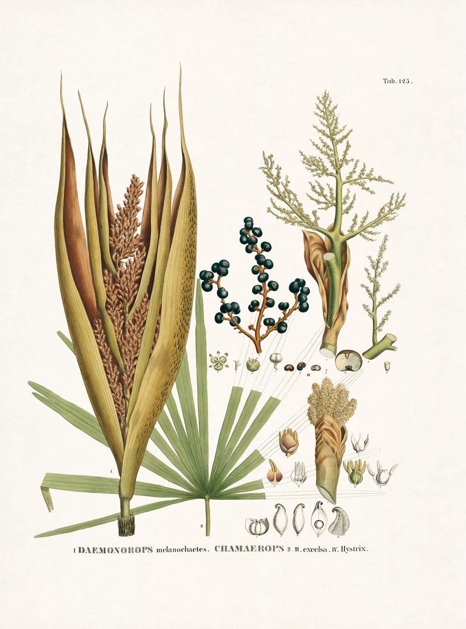 CALAMOIDEAE (Rotangpalmenähnliche) Fig. 1 Daemonorops melanocha