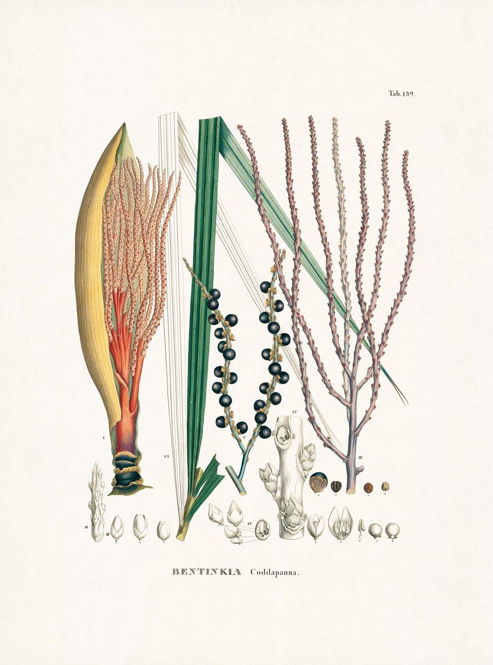 Bentinckia condapanna Berry ex Roxb. Der Nachdruck der Historia