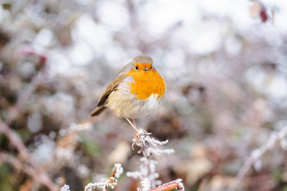 A plump little Robin