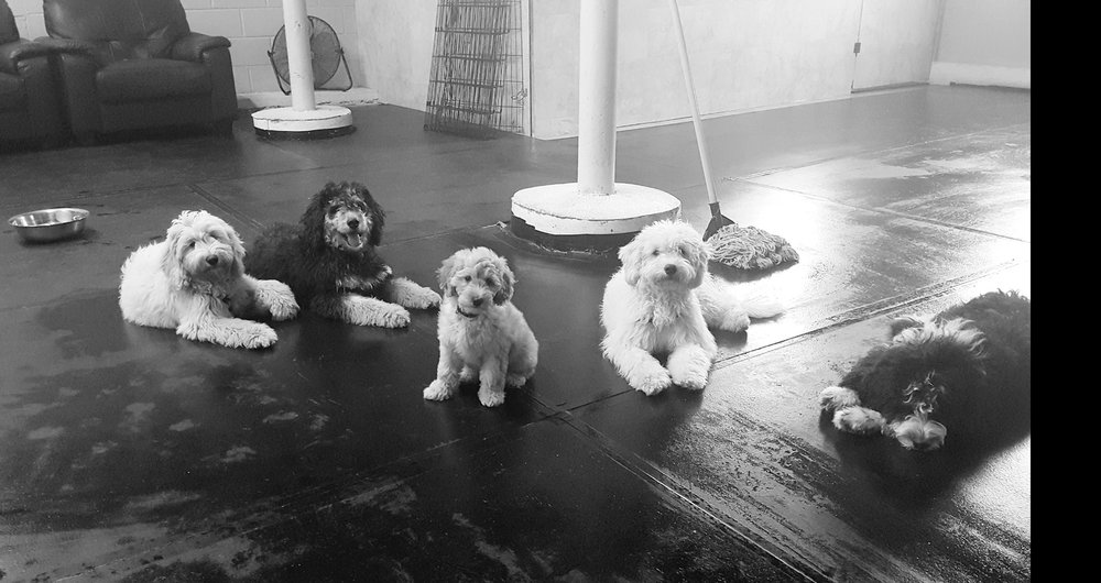 Group Shot of Puppies from the imprinting program during clean-up following a socialization class.
