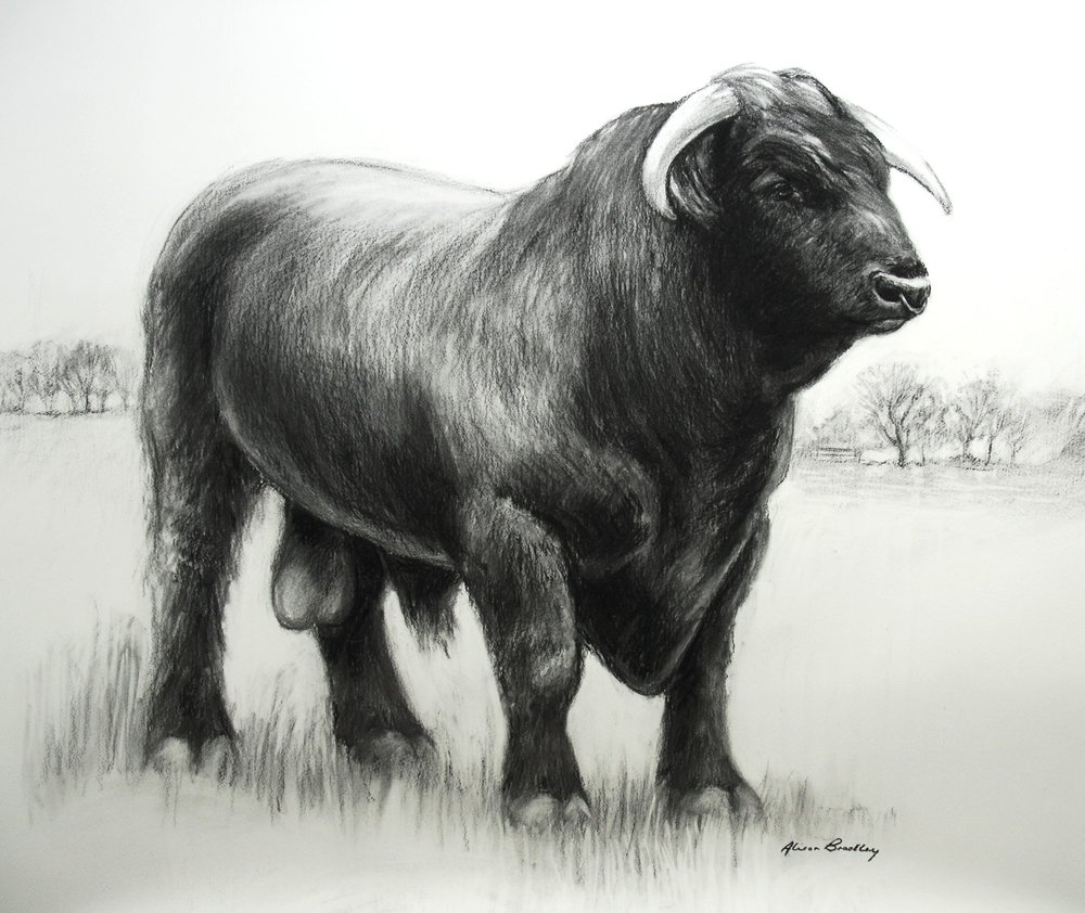 black-ox-welsh-black-bull.jpg