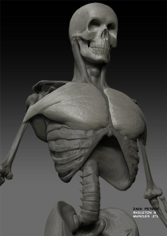 SkeletonMuscles_04.jpg