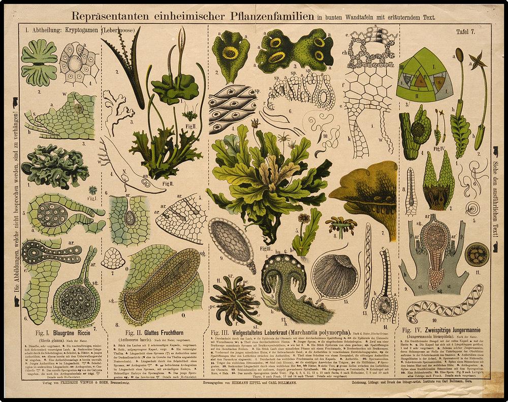 Liverworts and hornworts