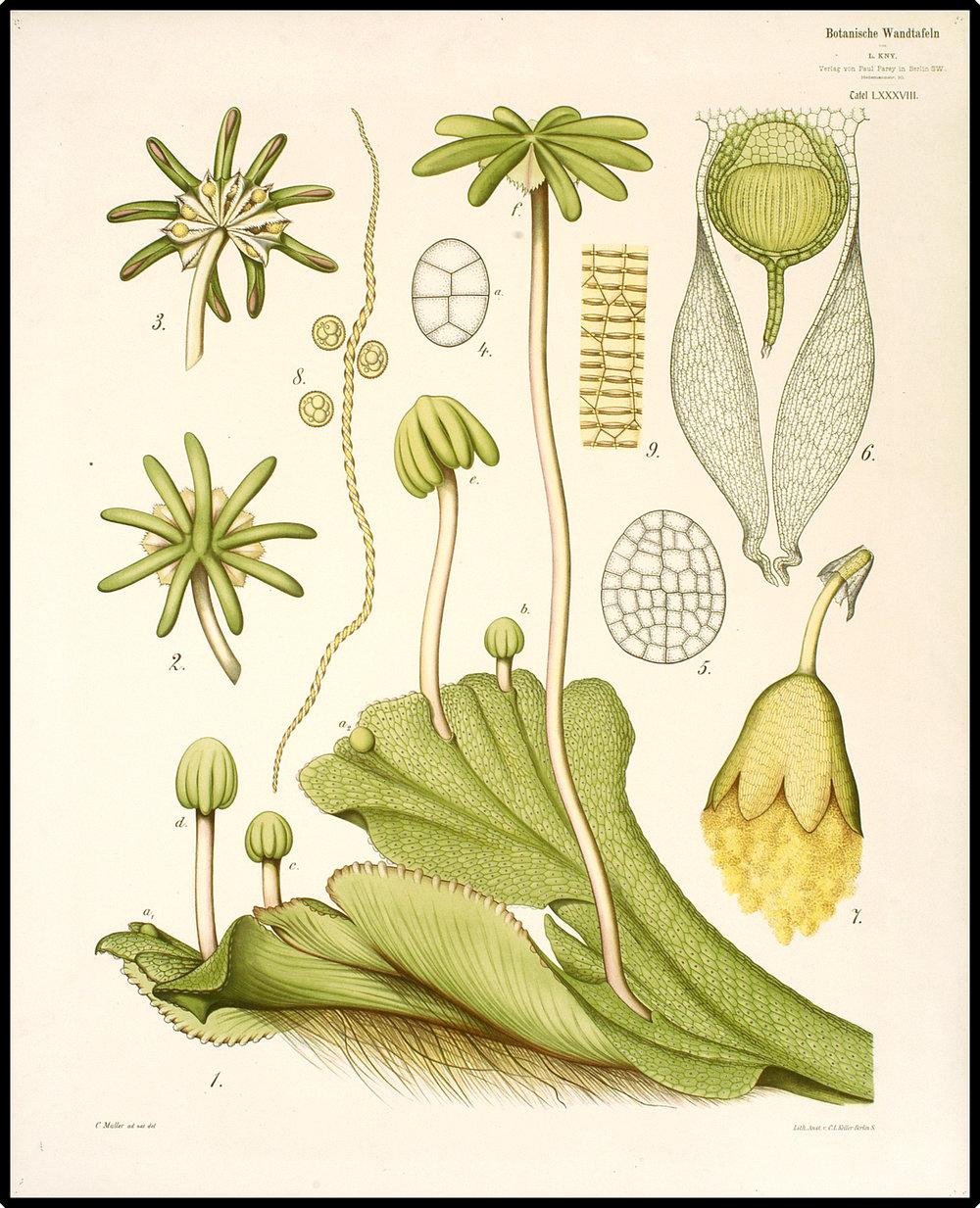 Female gametangia and sporangia