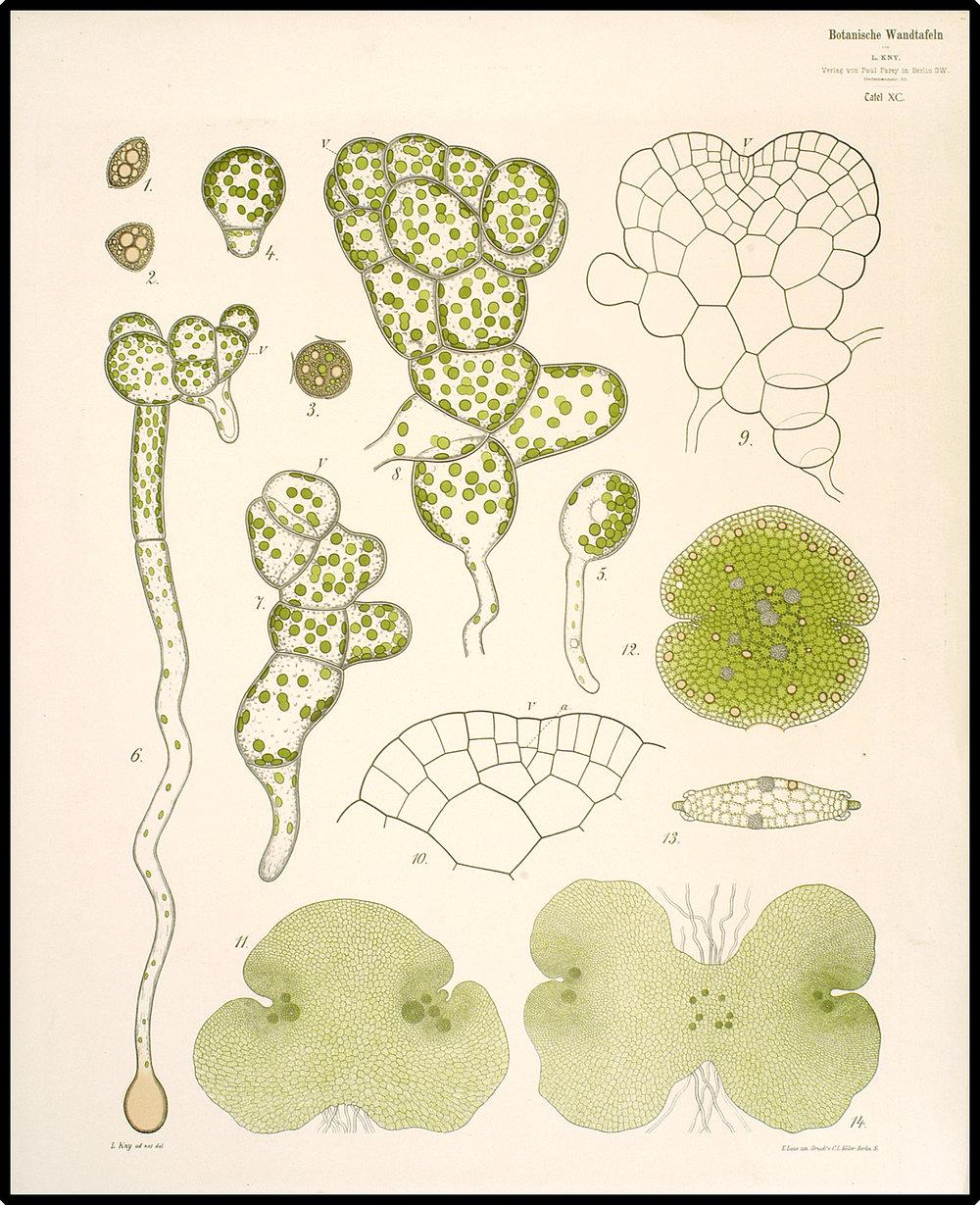 Spore germination and gemma