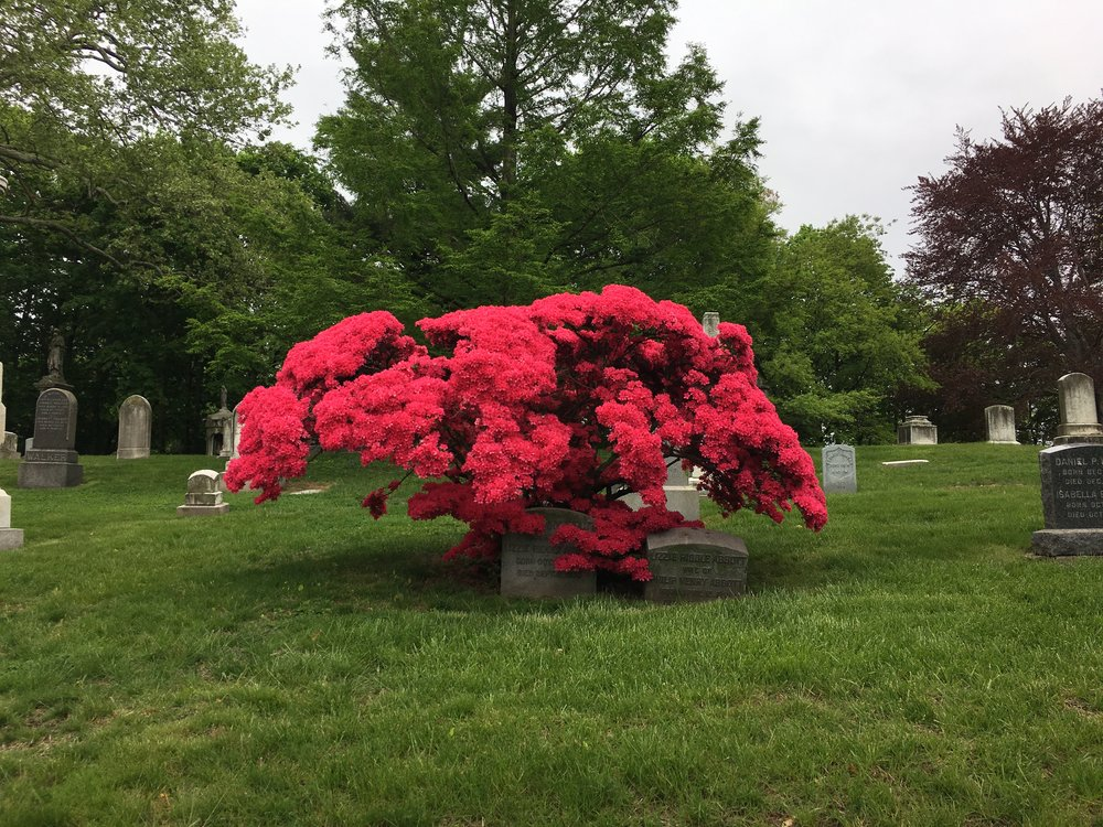 Azaleas over grave stones at Green-Wood Cemetery