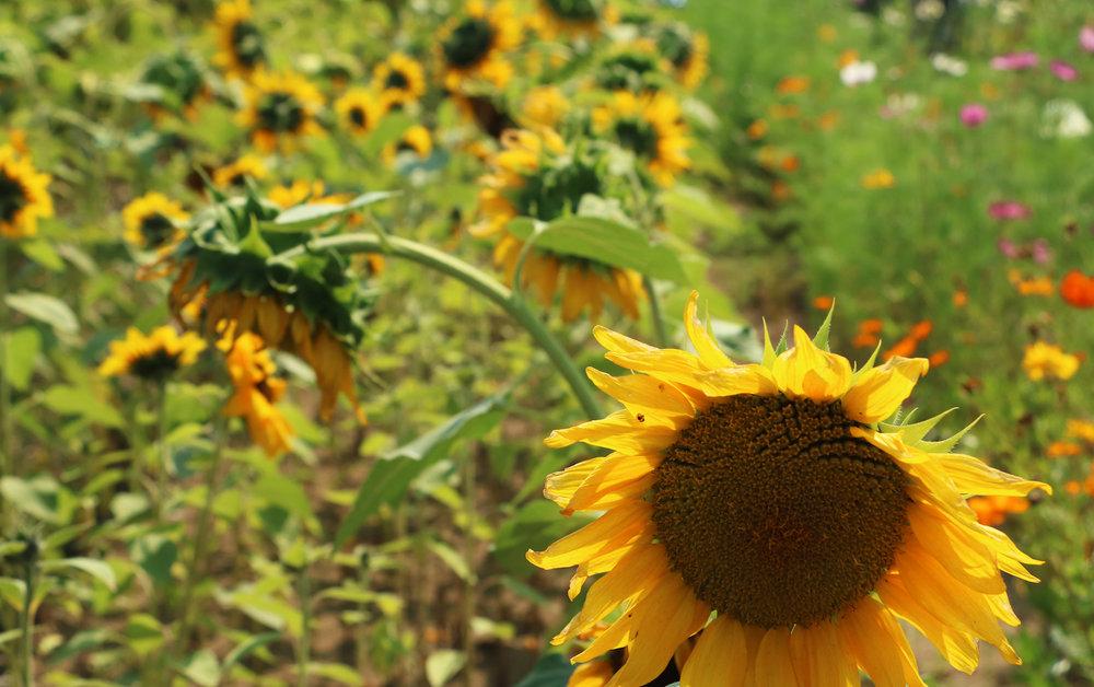 Art Exhibit - Sunflower Head.jpg