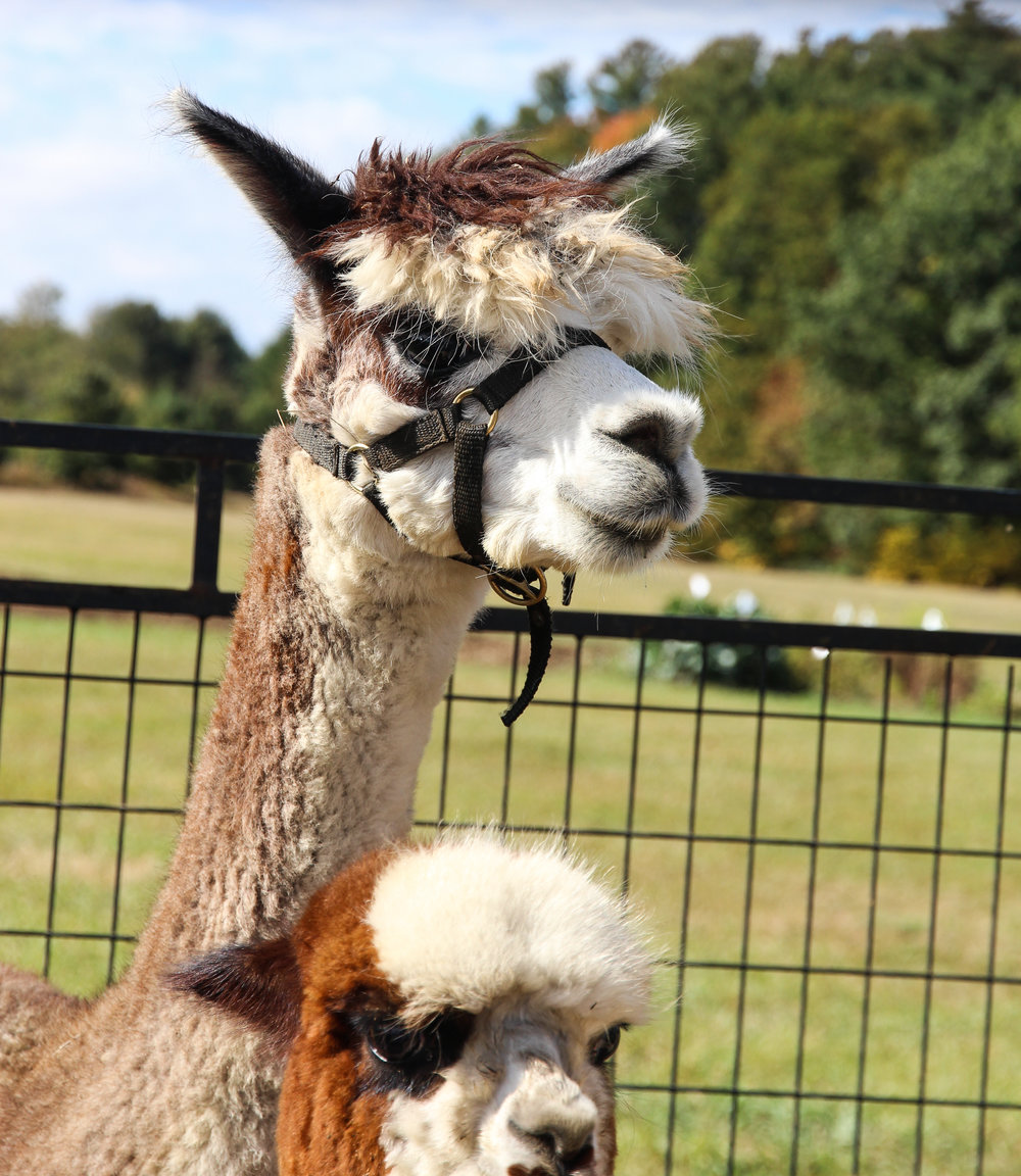 Family Fun Day - alpaca.jpg