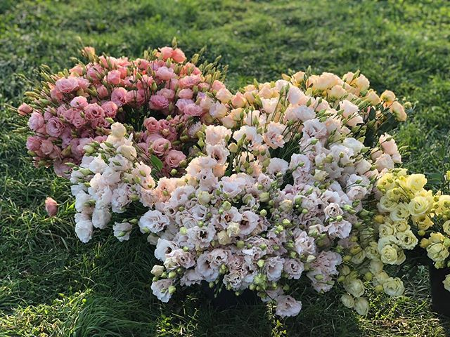 Always worth waiting for. #lisianthus #flowerfarmer #flowersmithfarm #slowflowers #ithacagrown #groundswellincubatorfarm