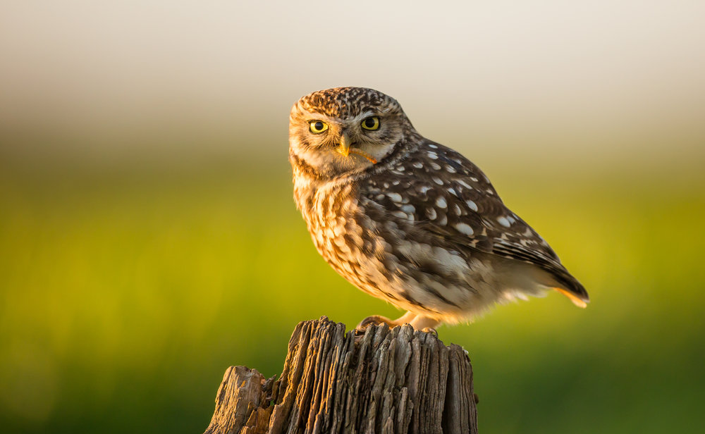 Courting Little Owls.jpg