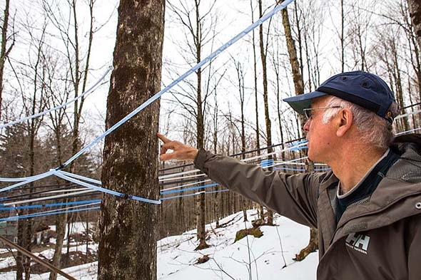 Climate change challenges maple industry - Vermont's iconic maple industry represents $300 million of the state's annual economy. What will happen when pests and unpredictable warming cycles make sugaring a risky gig? Independent photo/Dylan ThomasFor The Addison County Independent