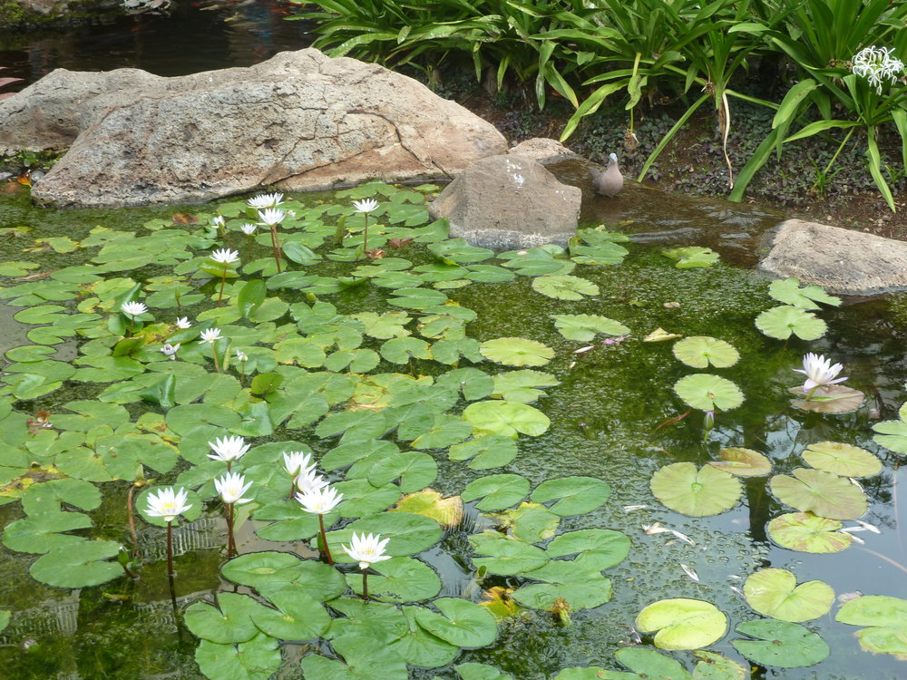 White water lilies symbolizes peace, purity, pleasure and spiritual enlightenment