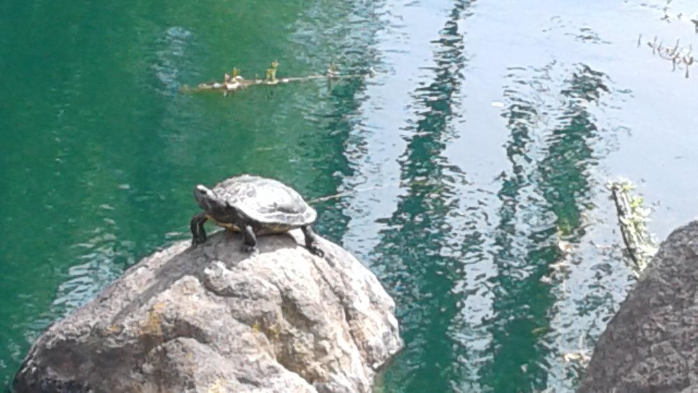 Turtle on big rock (close up) copy.jpg