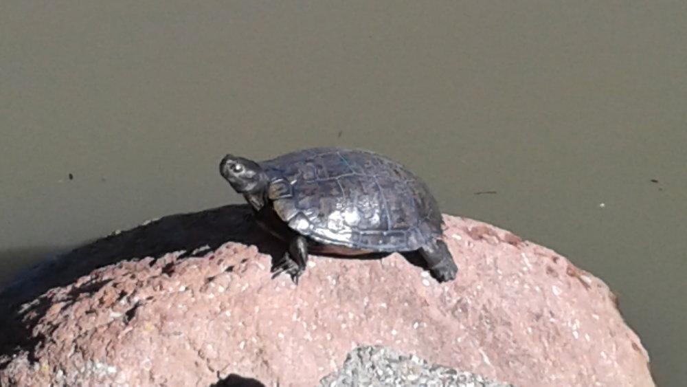 Turtle on a rock.jpg