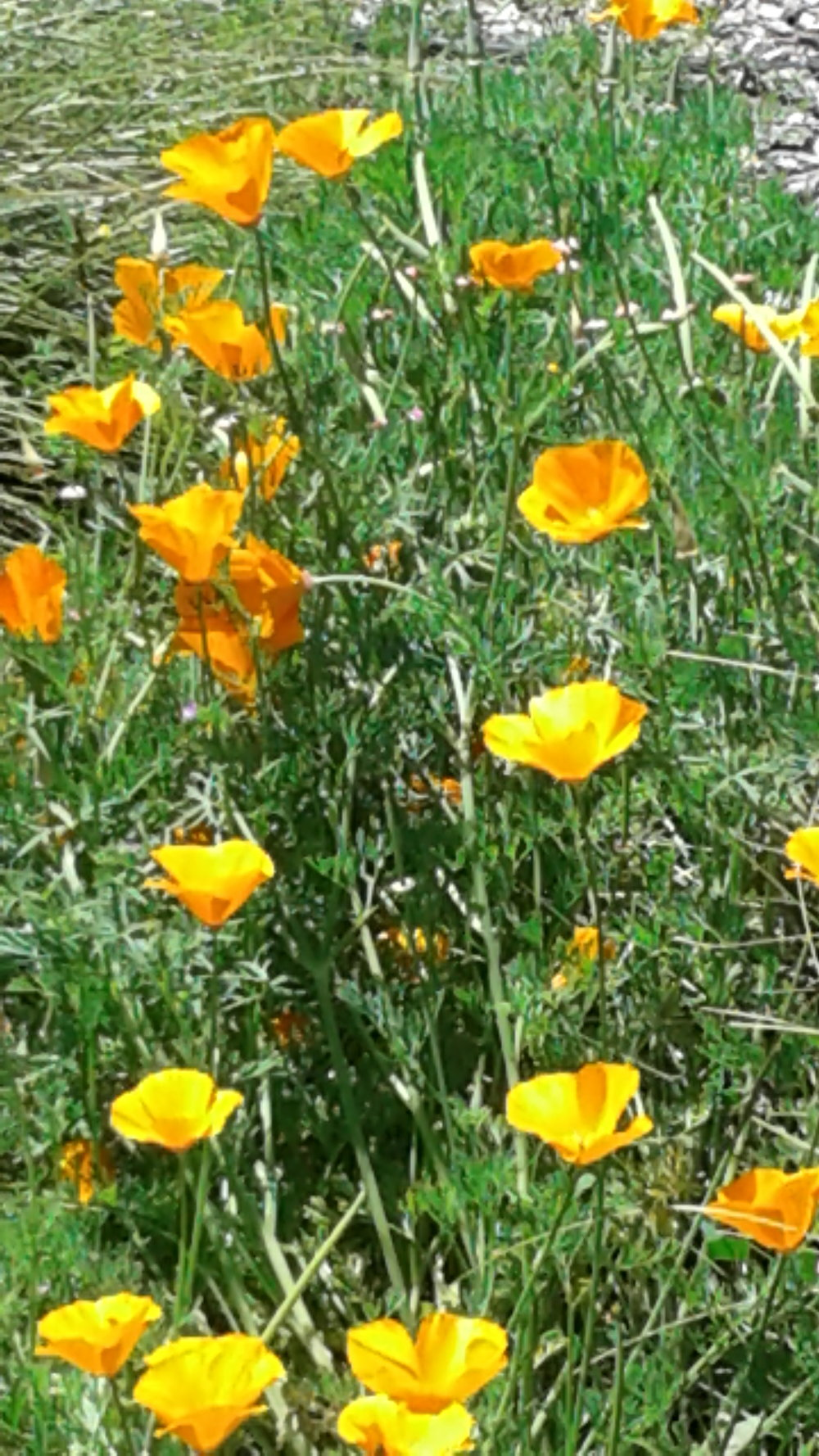 Poppies in the field 1.jpg