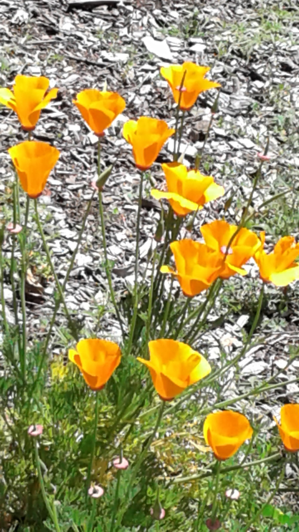 Poppies in the field 2.jpg