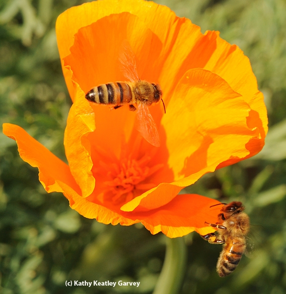 Two Bees foraging on CA Poppy (Photo by Kathy Keatley Garvey).jpg