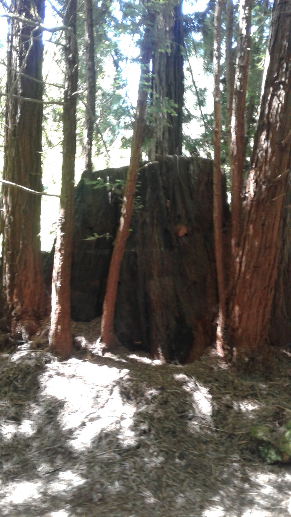 Massive Old Growth Trunk & New.jpg ***.jpg
