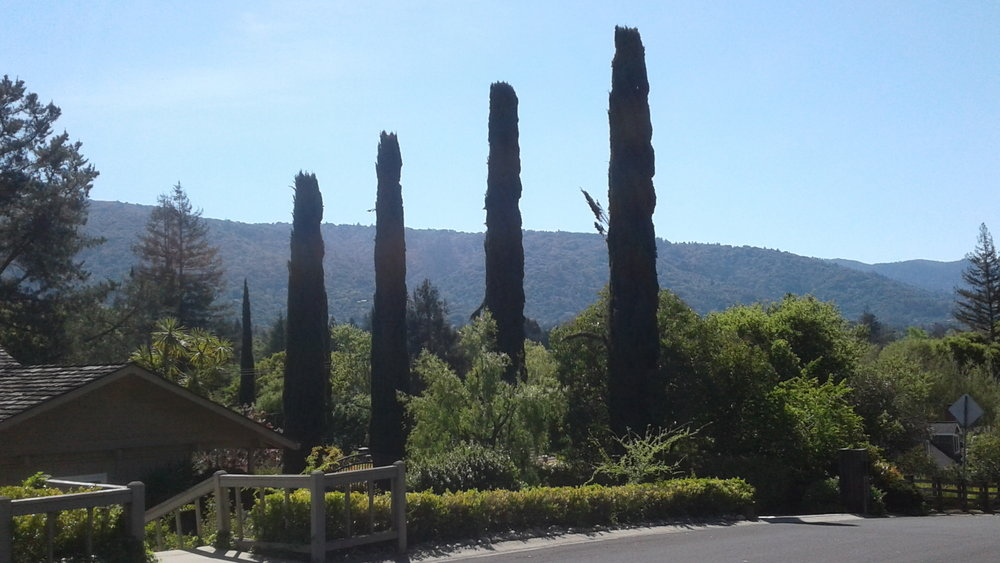 Italian Cypres X 3 & Hills.jpg
