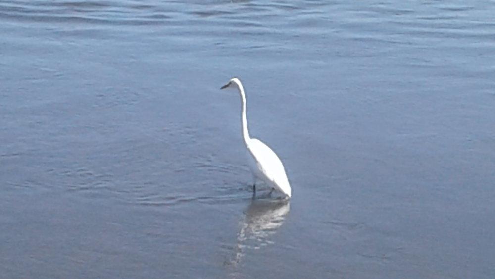 Egret 1 Shoreline.jpg